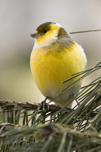 Domestic Canary, often simply known as the canary, (Serinus canaria domestica) is a domesticated form of the wild Canary, a small songbird in the finch family originating from the Macaronesian Islands (Azores, Madeira and Canary Islands).