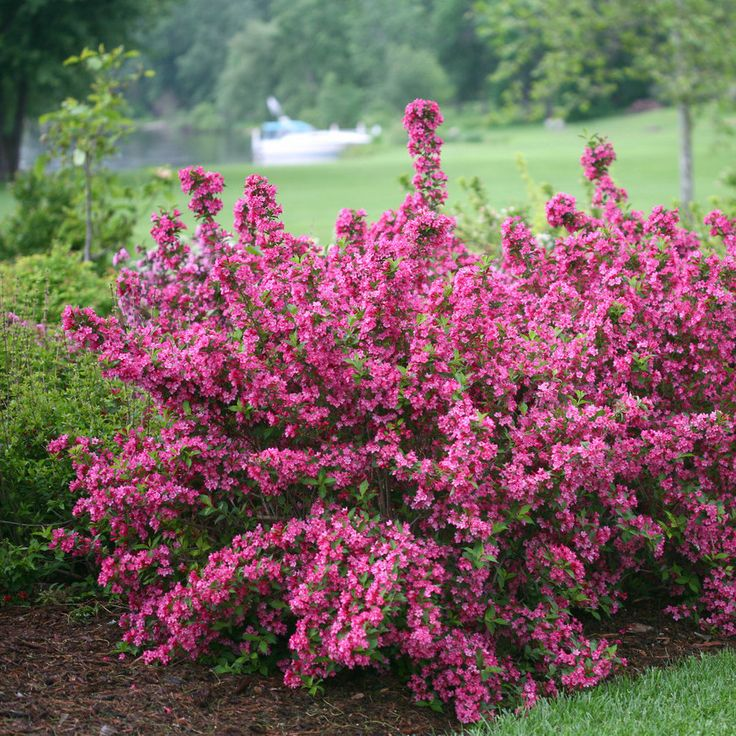 Dense, hot pink buds that re-bloom without deadheading. http://shop.pallensmith.com/garden/sonic-bloom-pink-weigela/