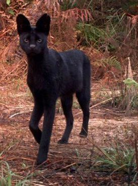 Rare black serval. Serval's are used to breed Savannahs. They use Ocicats, and several other exotics to come up with the Savannah.