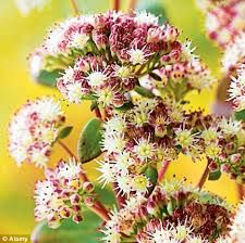 Image result for Sedum 'Stewed Rhubarb Mountain'