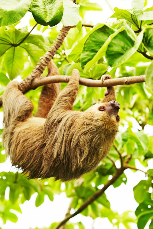 A Hoffman's two-toed sloth moves through the canopy on the Camino de Cruces, a legendary Spanish treasure trail along the Isthmus of Panama // photo by @markreadphotography #panama #sloth