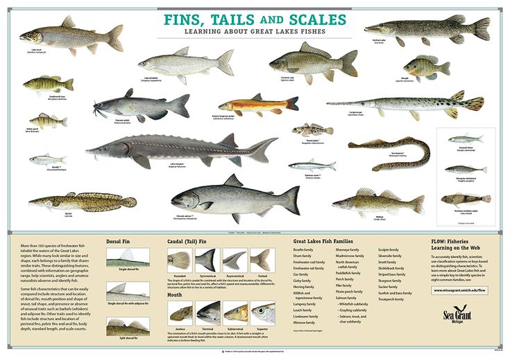 Great lakes fish species pictures google search candi for Types of white fish to eat