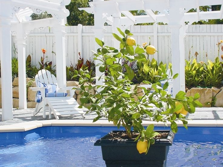 330mm Lots a Lemon Dwarf #lemon #sweetscent #fruit #patio