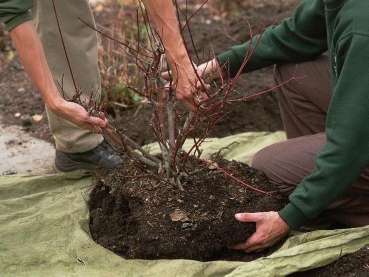 Как правильно пересадить плодовый кустарник на новое место