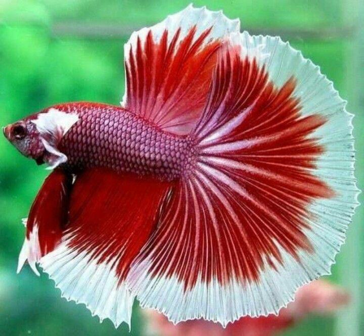 Betta fish aka siamese fighting fish love the bettas for Red betta fish