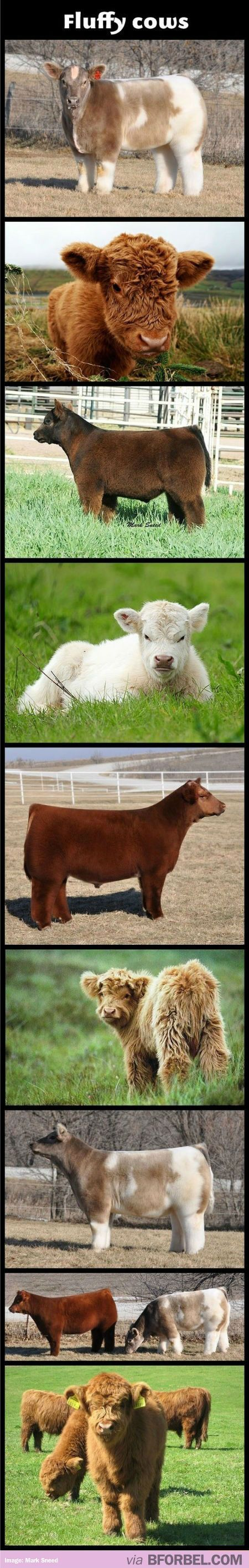 Fluffy Cows EXIST And You Are Welcome…