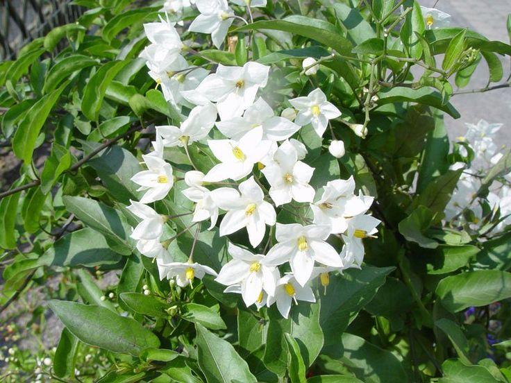Jázmin - Jasminum (novenytar.krp.hu) - Forrás: http://www.kvetyazahrada.sk/