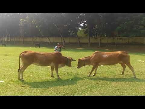 animals funny videos cow fighting