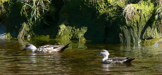 Cruceros Australis - Juarjual Ducks