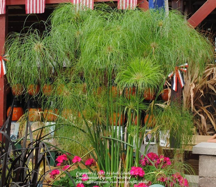 Papyrus (Cyperus papyrus 'King Tut') uploaded by chelle