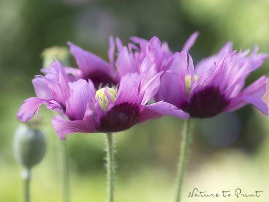 Blumenbild eine Gruppe Schlafmohn steht im Garten und wiegt sich im Wind. Ihre wild zerzausten lila Blüten sind wunderhübsch und gottlob sehr verschwiegen.