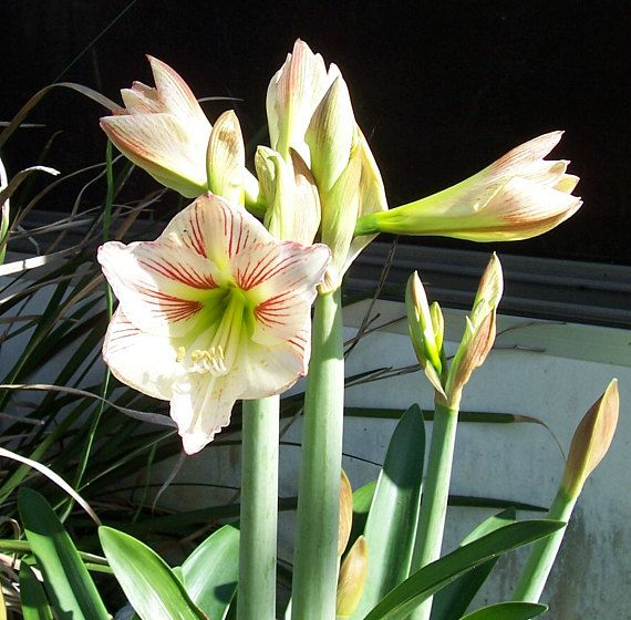 Amaryllis Hippeastrum Seeds 2018 Season Perennial Flowers Bulbs Candy Cane 50 Ct Plant Now Indoors Bulb Flowers Flowers Perennials Buy Seeds