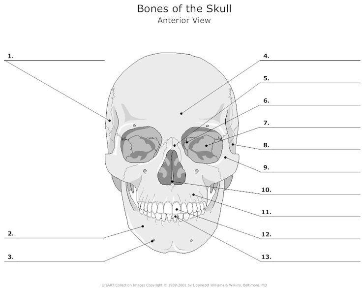 Skull Bones Unlabeled | School | Anatomy, Human body