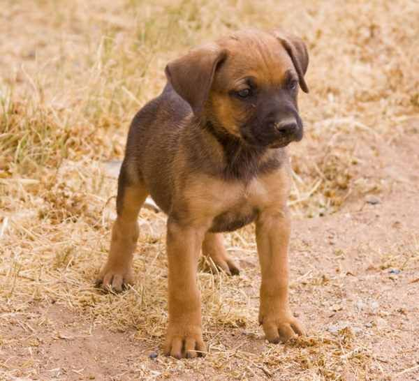 An Overview of the German Shepherd Pitbull Mix