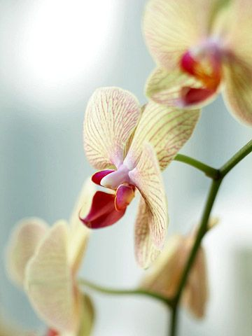Believe it or not, orchids actually can be a houseplant you're able to grow indoors when you follow these helpful tips. There are certain light requirements to keep in mind when gardening with orchids indoors, and watering orchids the right way is also important to help them grow.
