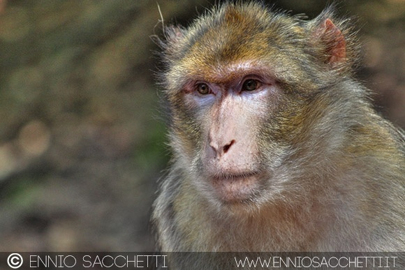 Macaco - HDR
