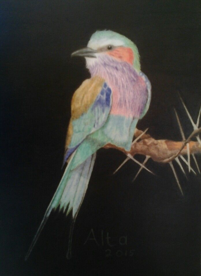 Lilac-breasted Roller on white card with Polychromos pencils.
