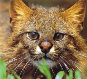 Pampas Cat - Google Image Result for http://www.cougarhill.info/cats/pampas_cat.jpg