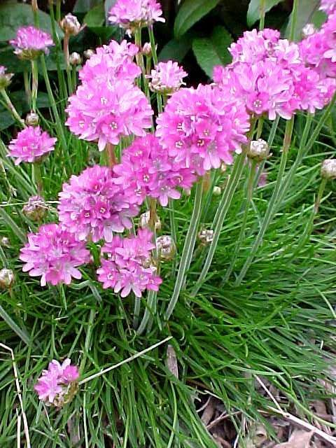 LOW MAINTENANCE LANDSCAPING PLANTs - Armeria Maritima (Sea Thrift): Height: 0.5 to 1 feet; Bloom Time Apr - May;  Full sun, Water dry; Flowers Showy