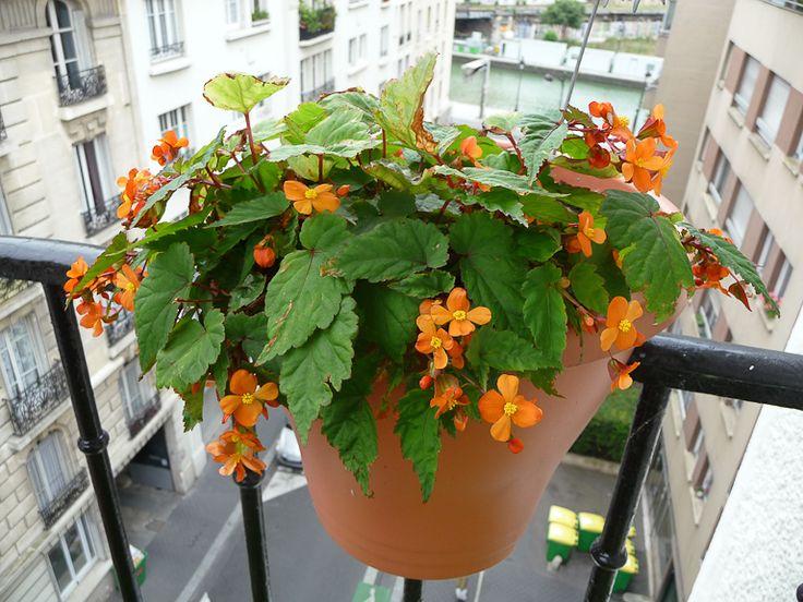 Suspension de Begonia sutherlandi sur la rambarde de mon balcon, Bégoniacées, Paris 19e (75)