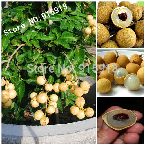 Aliexpress.com : Buy Fruit bonsai 5pcs RARE Dwarf Longan Sri Chompoo aka Dragon Eye Exotic Fruit Seeds in container from Reliable fruit seed pictures suppliers on Flower Life Store  | Alibaba Group