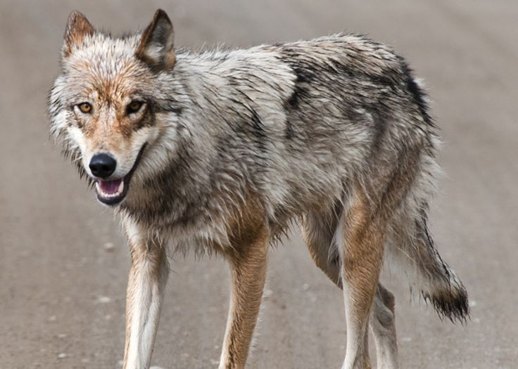 17 best images about stand for wolves on pinterest great lakes gray wolf and opinion editorials. Black Bedroom Furniture Sets. Home Design Ideas