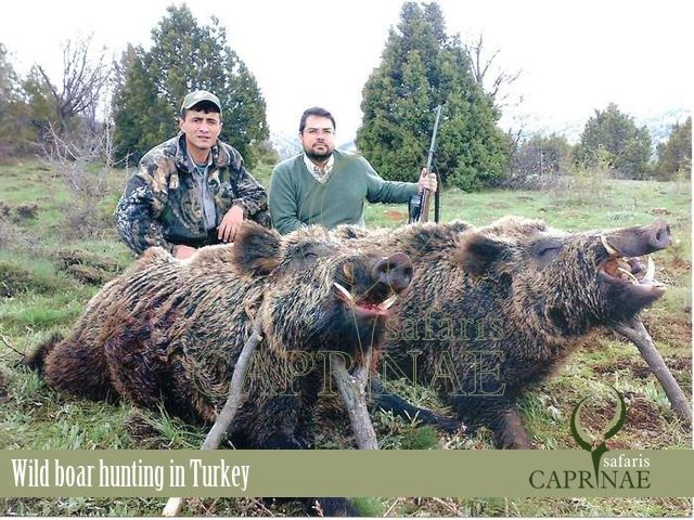 Wild boar hunting in Turkey http://riflescopescenter.com