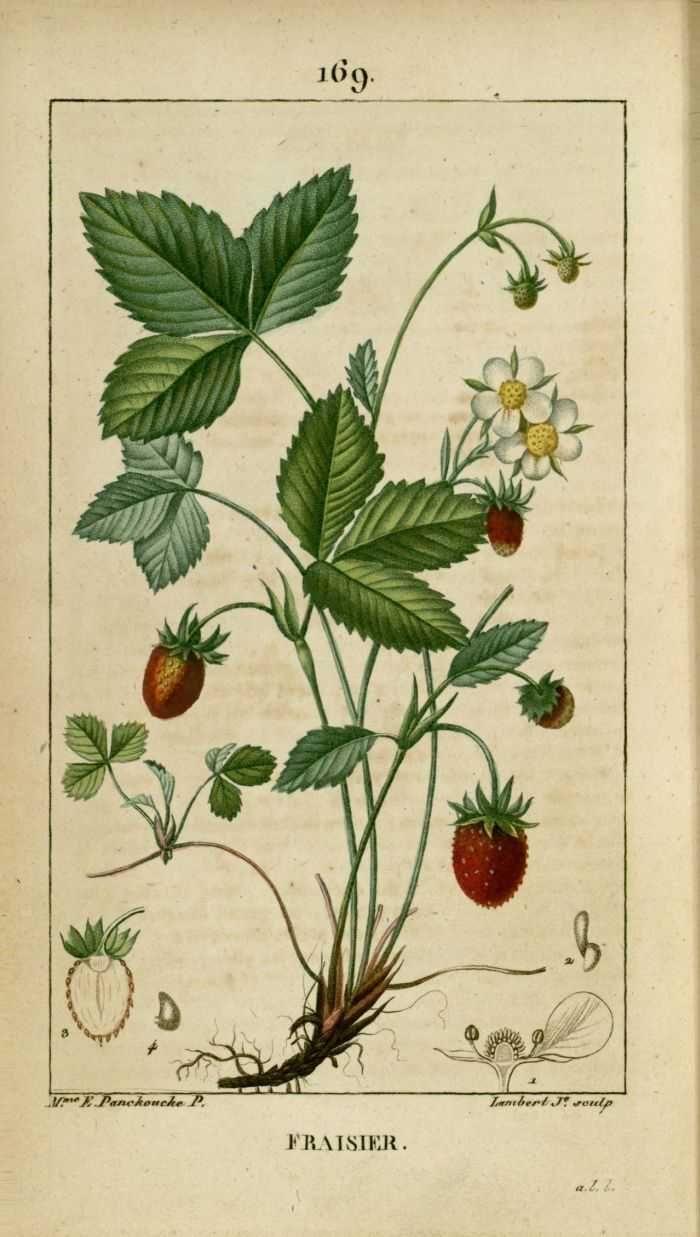 Img dessins gravures de plantes medicinales fraisier planches botaniques - Fraisier plante en pot ...