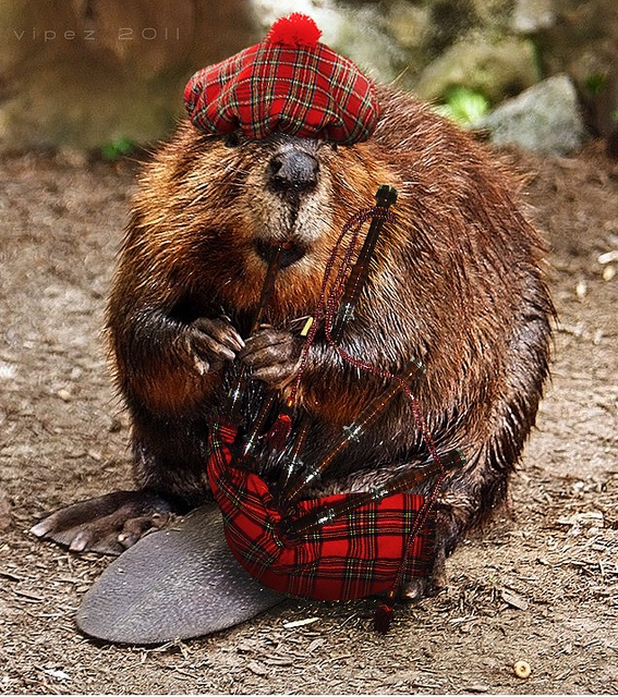 write all about beavers animal