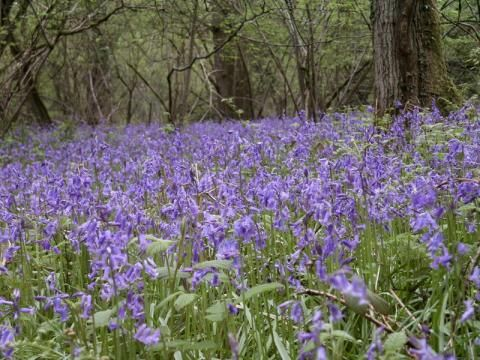 Bluebell: home thoughts from abroad | Peter Orchard