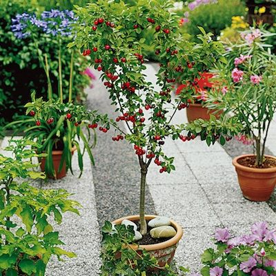 Cherries: How to Plant, Grow and Harvest Cherries, I wonder if these would grow in Florida...