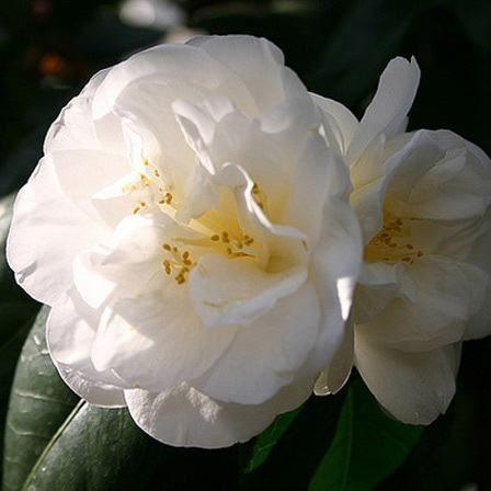 Flores blancas- camelia