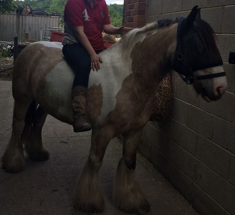 Stunning cob for sale no fault of his own £1500ono