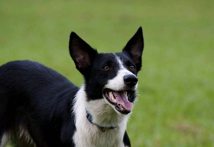 Zeke As A Puppy 3 Short Haired Border Collie Cute Dogs Breeds