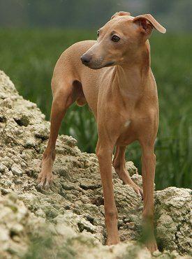 Italian Greyhound Health Problems | Feeding | Raising a Puppy