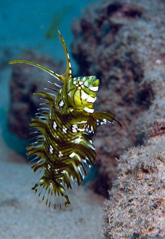 A Juvenile Rockmover Wrasse, also known as the Dragon Wrasse or Reindeer Wrasse (Novaculichthys taeniourus).