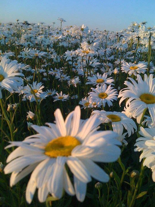 Un champs de fleurs