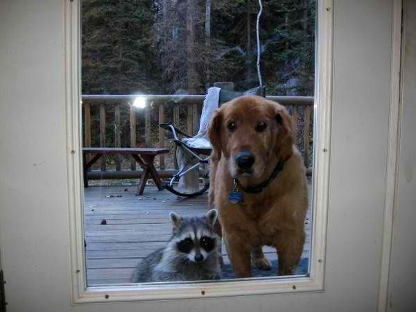 Maybe this doggy is friends with the raccoon. Or maybe he wants to adopt the raccoon. LOL!