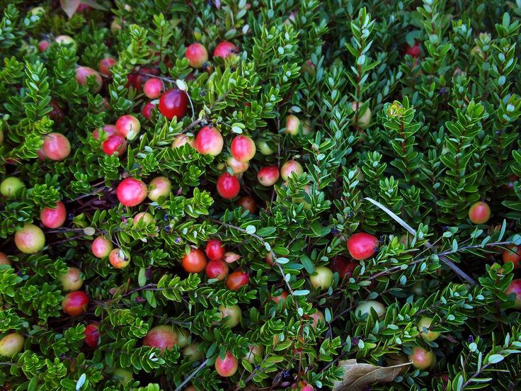 Cranberry Bog Tours | Guided Tours of a Working Cranberry Farm