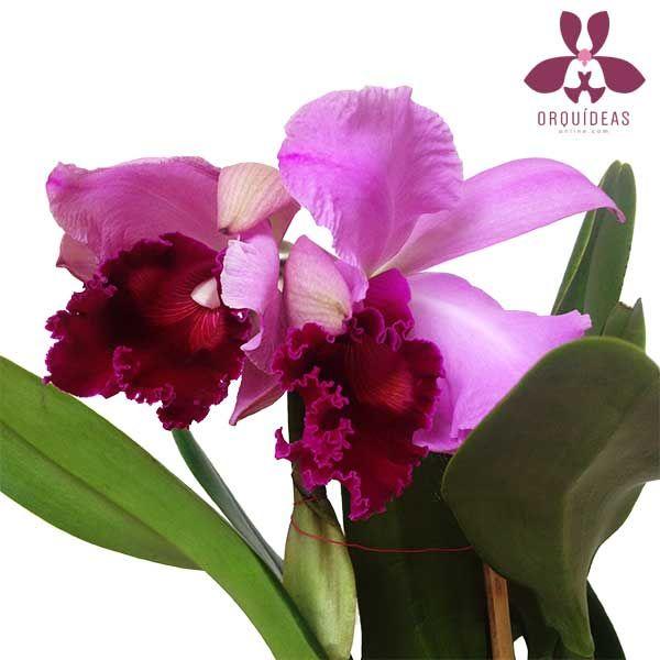 Orquídea Cattleya con 5 flores extra grandes