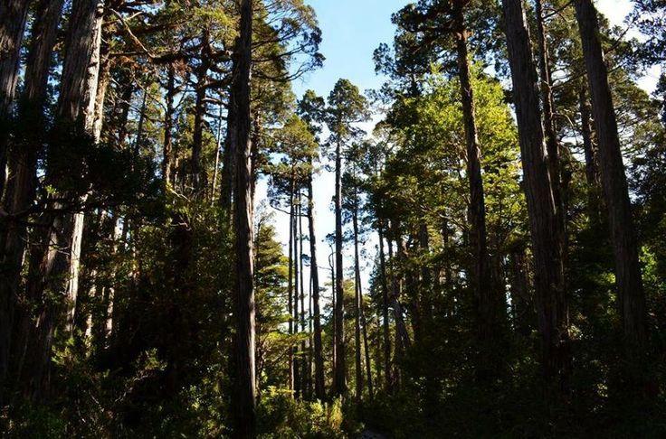 Bosque nativo, Chile