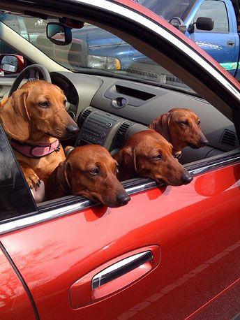 Dachshund family road trip
