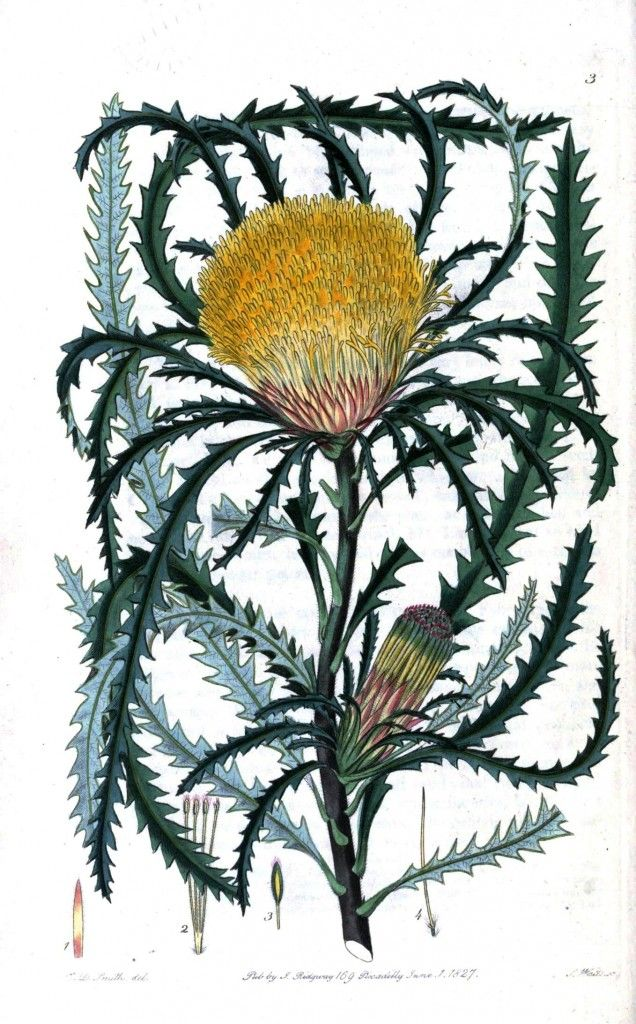 Botanical - Flower - Oceania - (4)
