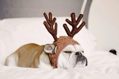 Bouledogue anglais / English bulldog - Sleepy Reindeer
