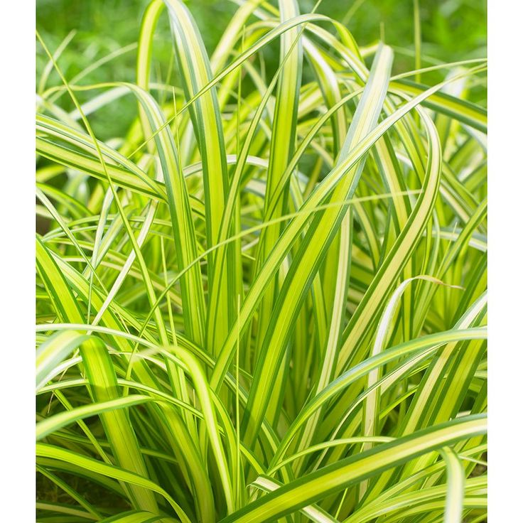 The 25+ best Carex plant ideas on Pinterest How to grow carex - carex bronze reflection