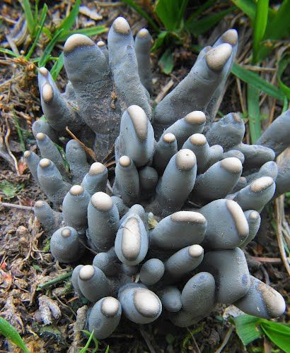 Dead man's fingers (Xylaria polymorpha) is the name of a mushroom-like fungal growth that can be found at the base of dead or dying trees and shrubs.