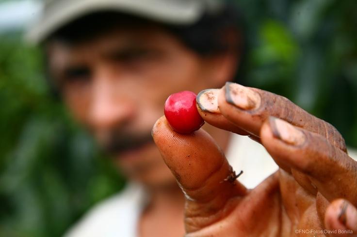 Fruto del cafeto / Coffee fruit.