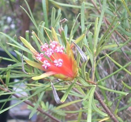 Small shrub Lambertia formosa - Mountain Devil