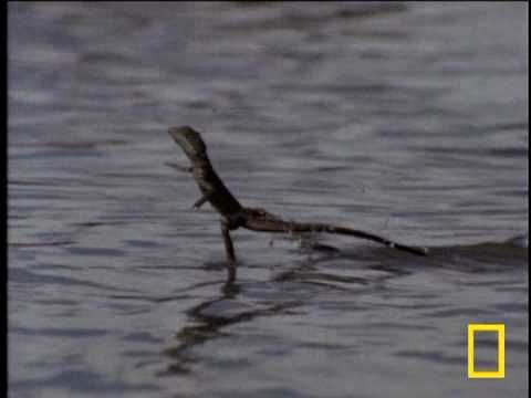 Nature's Miracle Worker: The Basilisk Lizard  - http://sunnyscope.com/natures-miracle-worker-common-basilisk/