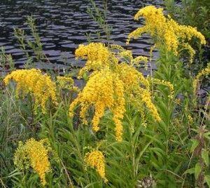 Kentucky State Flower Goldenrod, not good for allergies